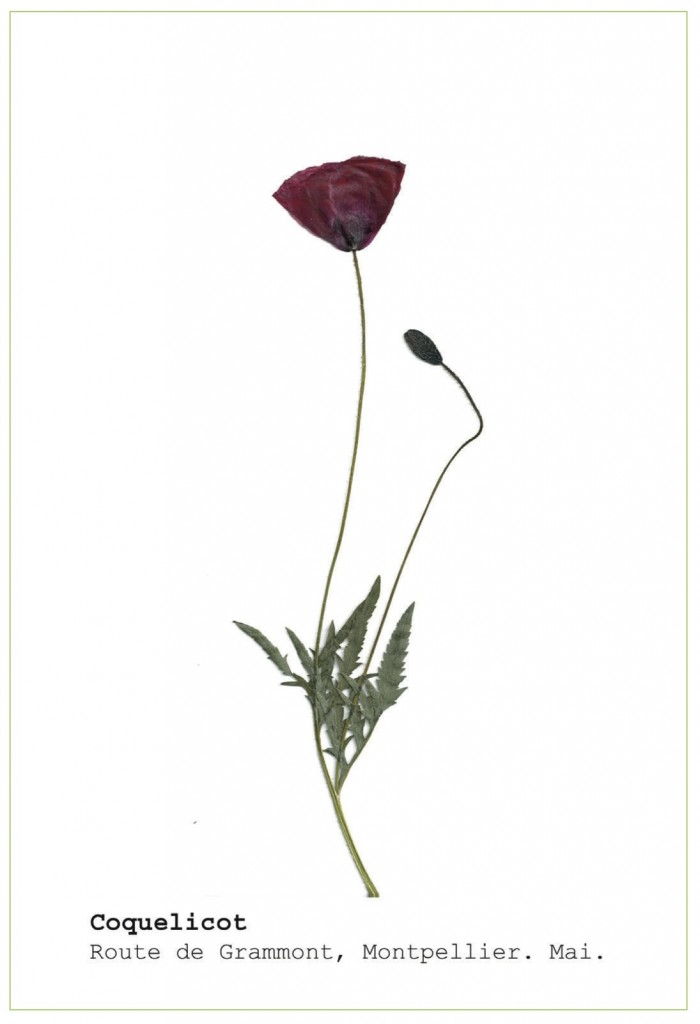 Image herbier coquelicot